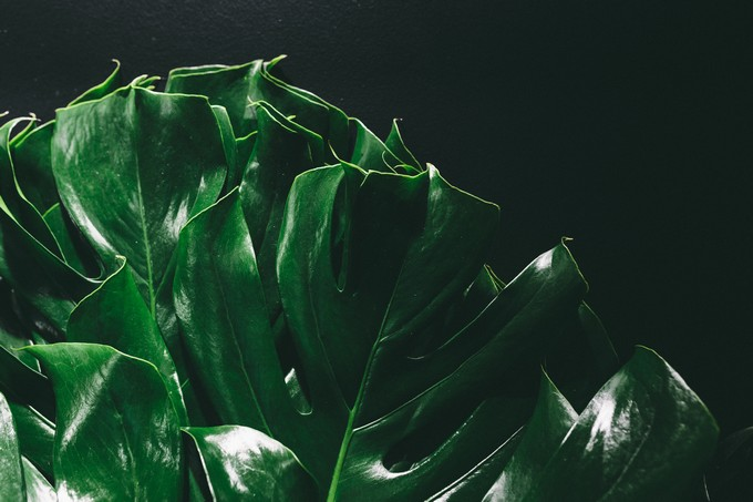 philodendron-leaves