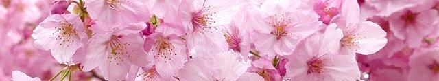 sakura-flowers-blossom-ribbon