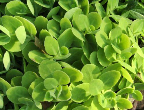 succulente-plant