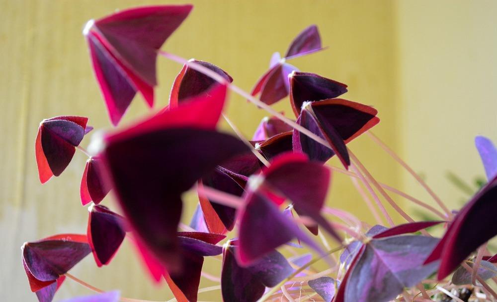 Oxalis Triangularis - Oxalis Pourpre - Blogging Végétal